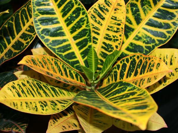 Популярное комнатное растение