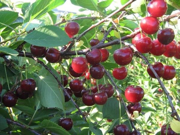 Вишня ровесница описание сорта и характеристика особенности выращивания