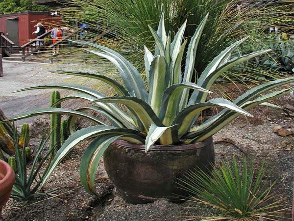 Агава самое популярное растение Мексики