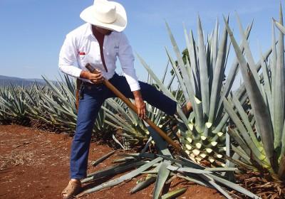Родина растения - Мексика