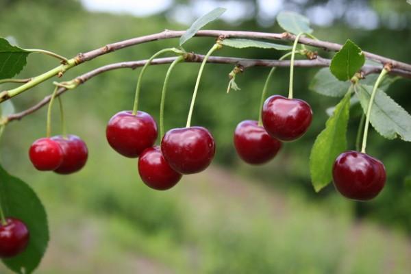 Вишня Новелла: описание сорта и фото, характеристики и особенности, выращивание и уход
