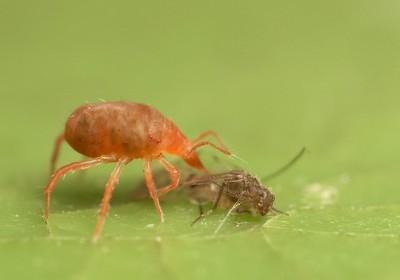 Нападение паутинного клеща