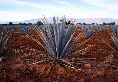 Агава - многолетнее суккулентное растение из Мексики