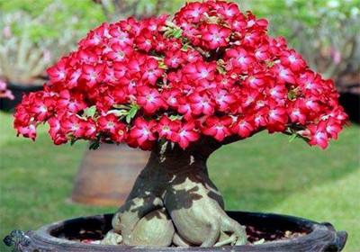 Адениум - растение не требовательное в уходе