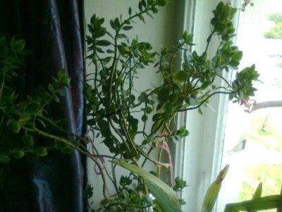 Белый налет на листьях каланхоэ — cvetokvgorshke