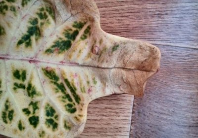 Cохнут кончики листьев