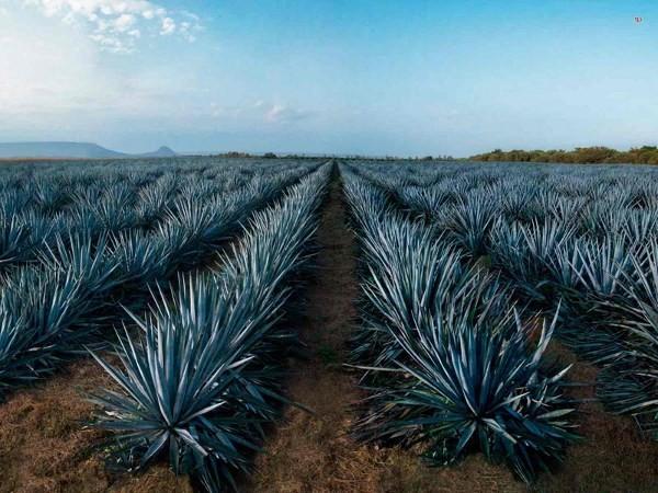 Сок применяют в производстве безалкогольных напитков
