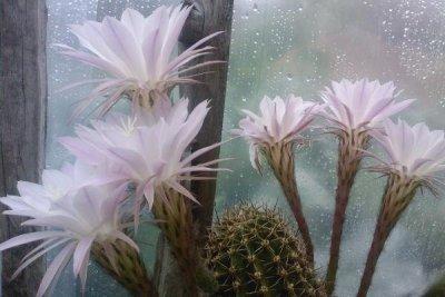Пересадка пустынного кактуса