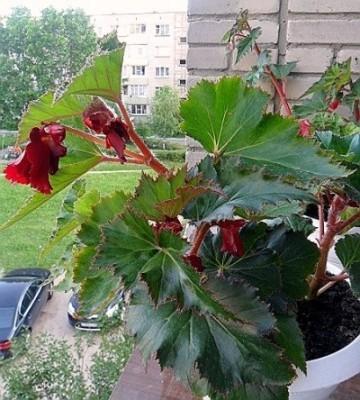 Бегония клубневая что делать осенью после цветения