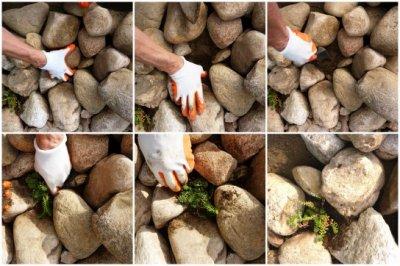 Седум (Очиток): посадка на открытом грунте и уход осенью, описание и фото