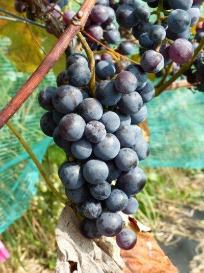 Виноград буффало описание сорта