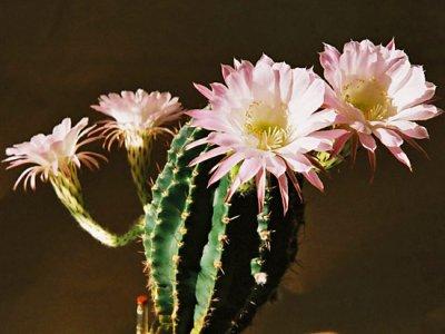 Семейство кактуса