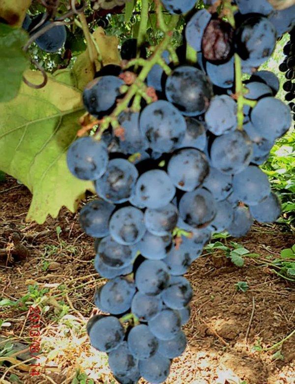 сорт винограда гарнача описание и вкус выращивание и уход с фото