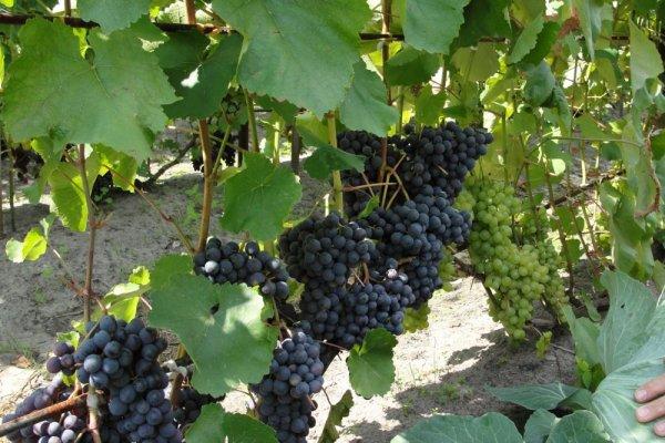 Виноград - Агат Донской - ( - Витязь - ): подробное описание красивого, сильнорослого сорта с фото
