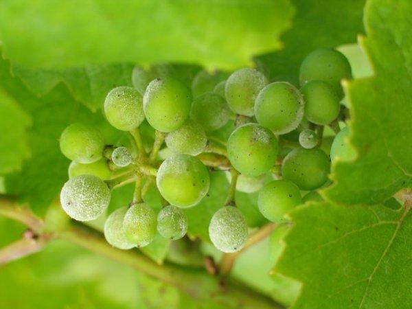 Препараты от грибка милдью на винограде
