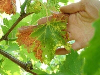 Красные листья у винограда – почему краснеют, как избавиться