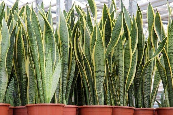 Цветок Щучий хвост (Сансевьерия, Тещин язык): уход и два способа размножения