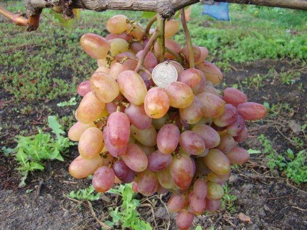 Виноград кишмиш находка ранний гибрид Крайнова