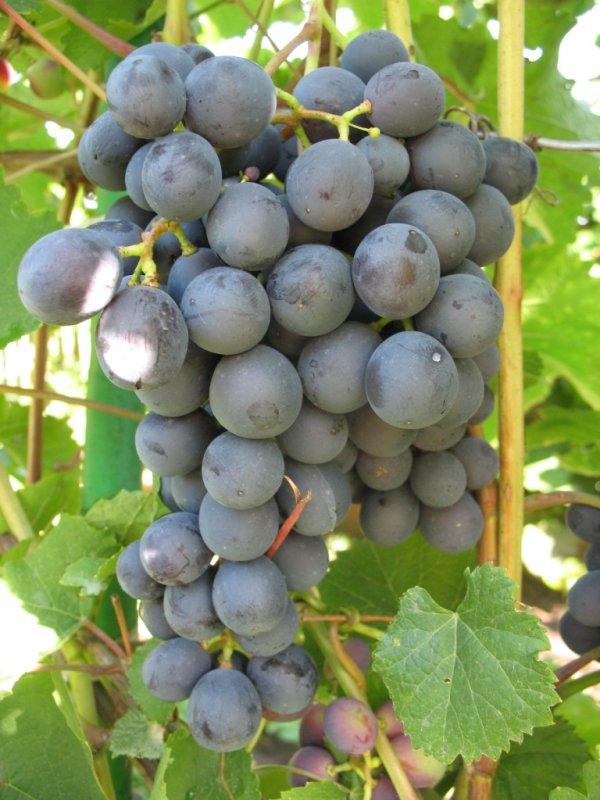 виноград агат донской описание сорта и характеристики выращивание и уход