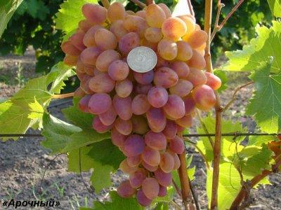 Виноград Арочный характеристика и описание сорта посадка и уход