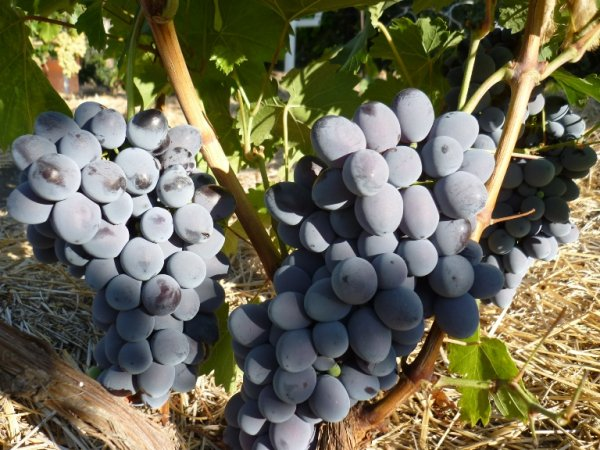 виноград атаман описание и характеристики сорта история и выращивание с фото