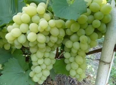 Виноград Галахад: описание сорта, фото, характеристики и особенности, история выведения