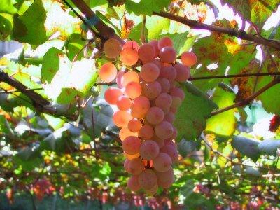 Виноград бычий глаз: описание сорта и особенности ухода за ним