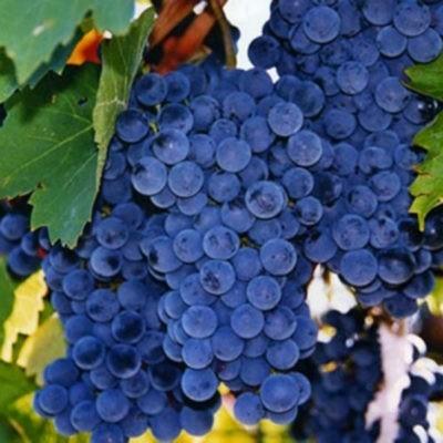 Старинный сорт с богатой историей — «Королева винограда» || Виноград кареловский описание сорта