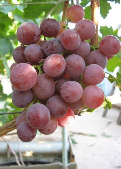 Сорт винограда кеша - АгрономWiki