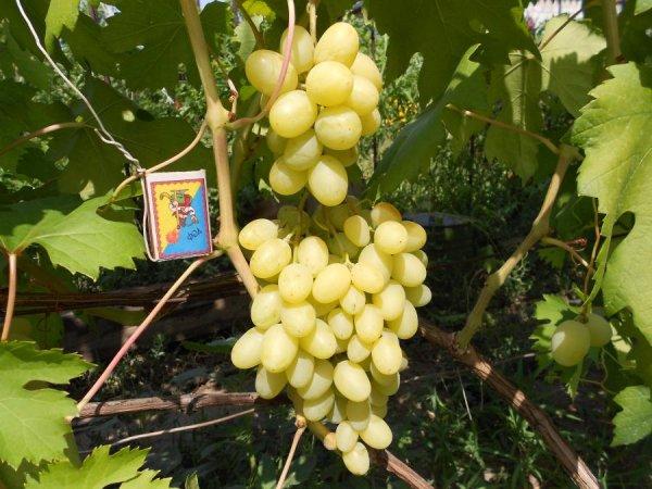 виноград ландыш описание сорта характеристика правила посадки и ухода
