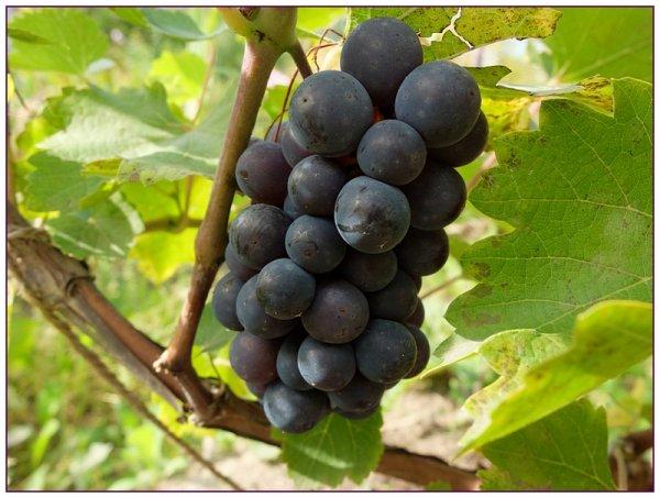 Сорт виноград родина — Наш сад