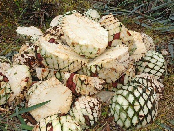Плоды агавы содержат сладкий сок
