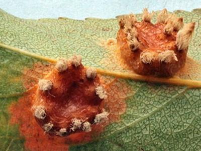 Пролиферация груши методы борьбы с заболеванием