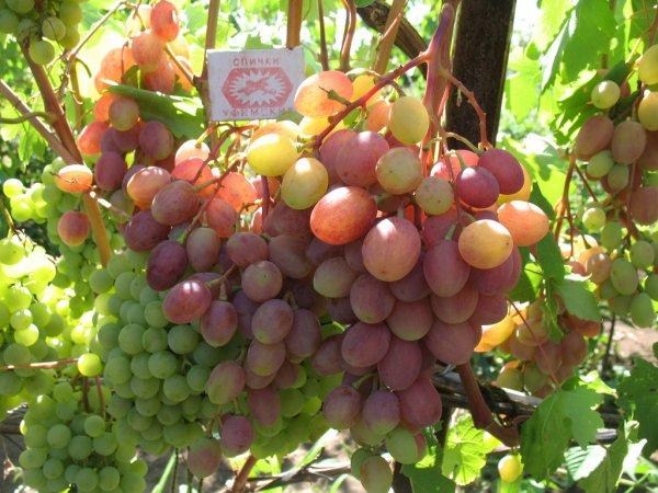 Виноград Румба особенности сорта
