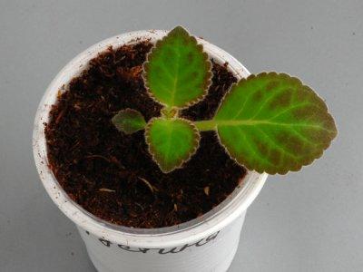 Глоксинии из семян уход и выращивание