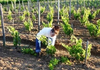 Описание сорта винограда Дамские Пальчики: особенности, польза и вред