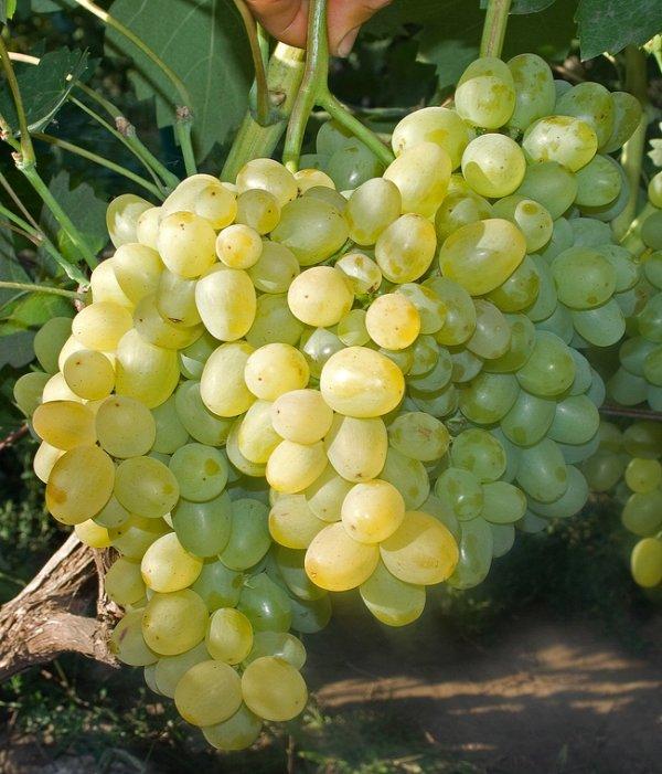 Виноград - Супер экстра: описание сорта, вредители, заболевания и фото