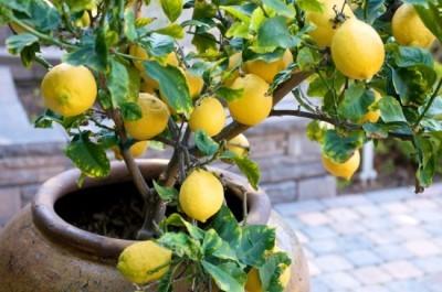 Кислотность почвы для лимона !
