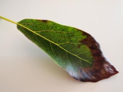 Почему желтеют листья у авокадо