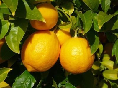 Можно ли пересаживать лимон с плодами осенью