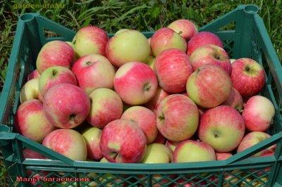 Яблоня мальт багаевский опыление описание и урожайность сорта с фото