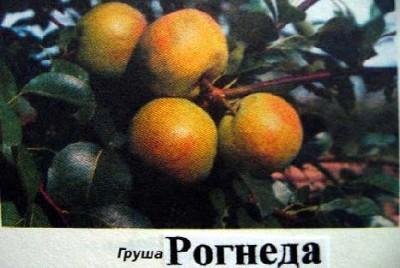 Рогнеда - один из лучших сортов для средней полосы России