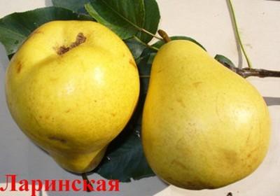 Осенний сорт груши Ларинская