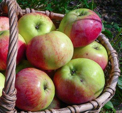 Как, куда и когда сажать яблоню?