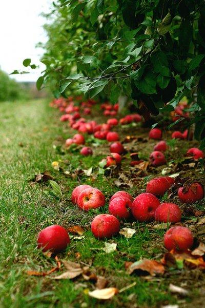 Внешний вид яблони