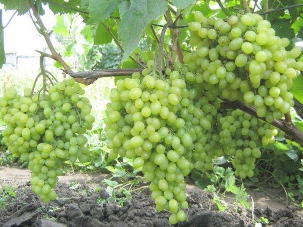 """Описание столового сорта винограда """"Алешенькин"""""""