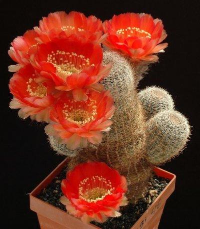 Разновидность кактуса