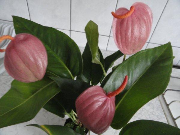 Антуриум шерцера микс — Цветок домашний
