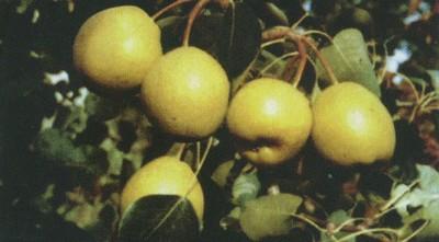 Куда посадить грушу сорт Ларинская?