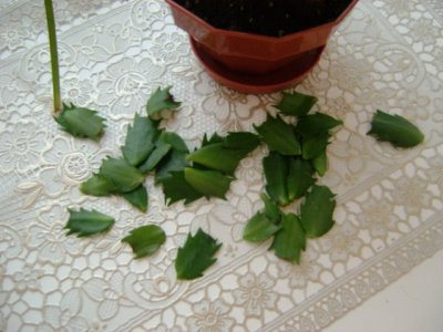 Размножение кактуса